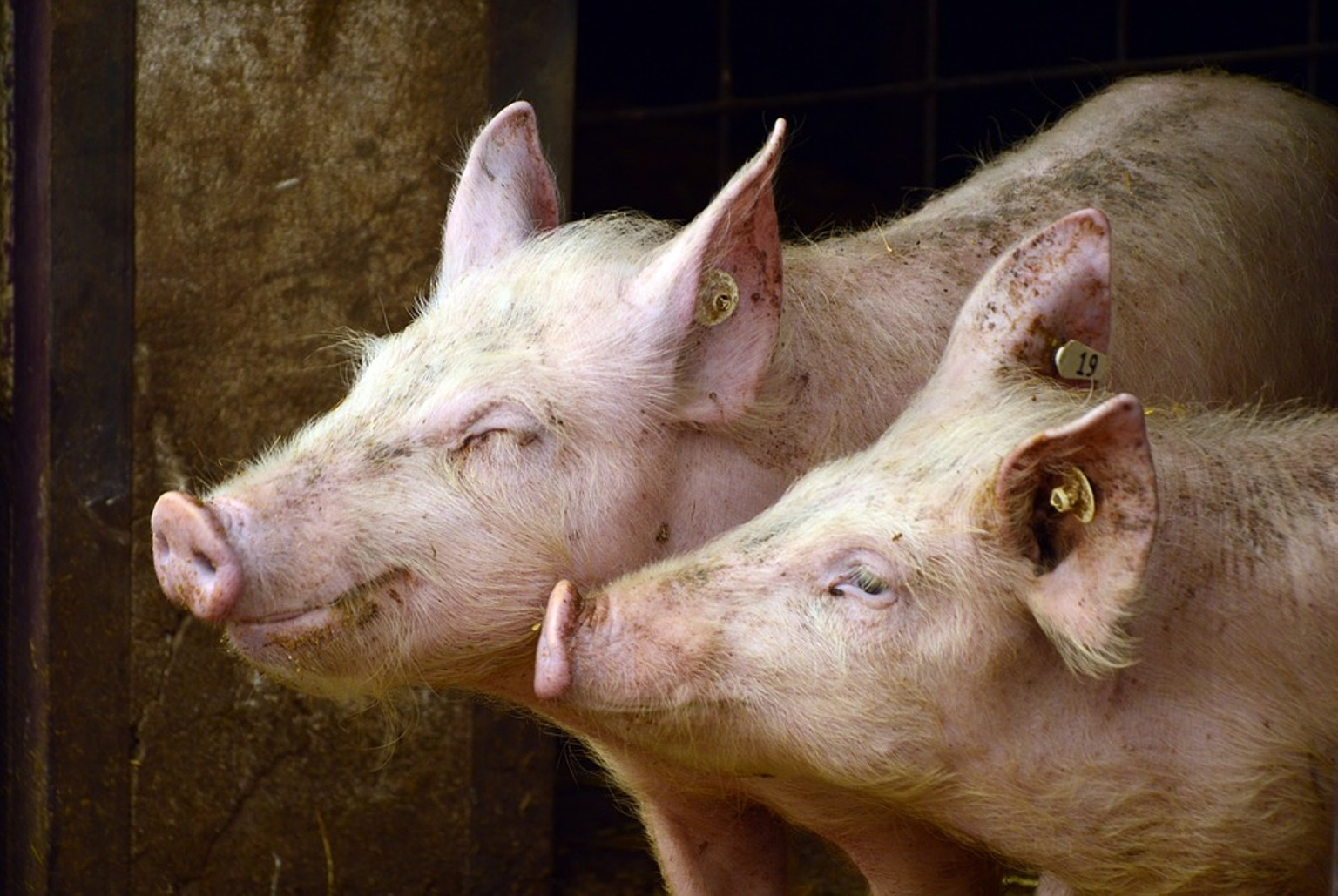 56-letnia kobieta ZEMDLAŁA podczas karmienia ŚWIŃ. Głodne zwierzęta zrobiły z nią coś PRZERAŻAJĄCEGO!