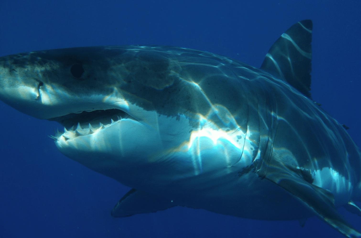 Rekiny rozszarpały delfina na oczach wczasowiczów! (Wideo!)